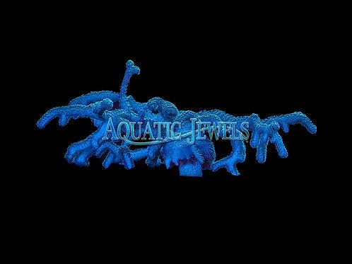 Blue Green Acro Colony (Acropora)