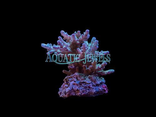 Purple Tip Acro Colony (Acropora)