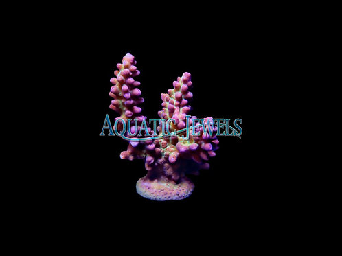 Pink and Green Acro (Acropora)