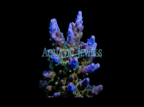 Purple and Green Acro (Acropora)