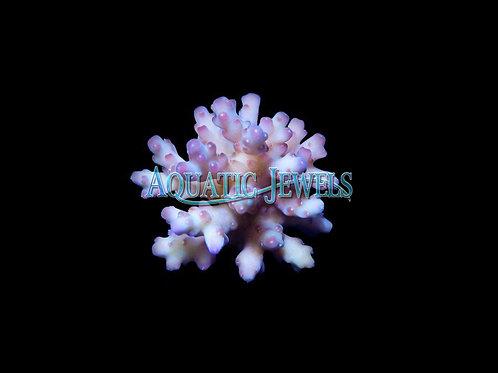 Raspberry Acro (Acropora)