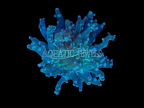 Green Frogspawn Coral (Euphyllia Divisa)