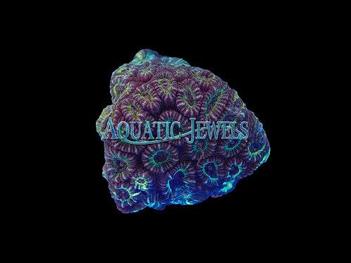 Super Ultra Brain Coral (Favia)