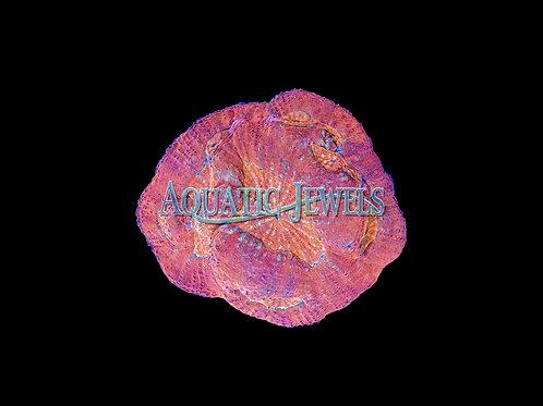 Orange and Purple Australomussa (Parascolymia Rowleyensis