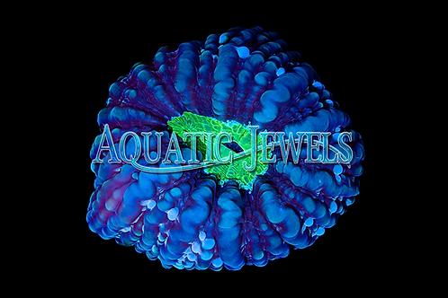 Green and blue Cynarina (Cynarina Lacrymalis)