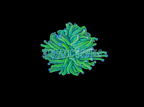 Blue Tip Green Holy Grail Torch Coral (Euphyllia Glabresens)