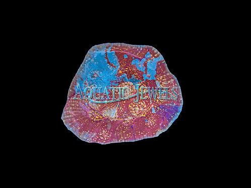 War Paint Chalice (Echinophyllia)