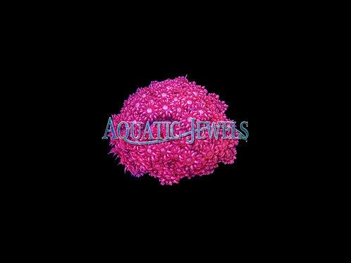 Pink Goni (Goniopora)