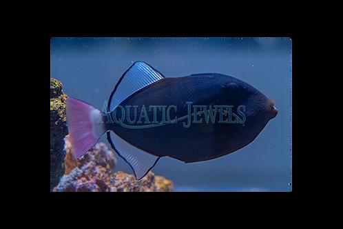 Pinktail Trigger Fish