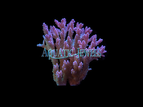 Purple Acro Colony (Acropora)