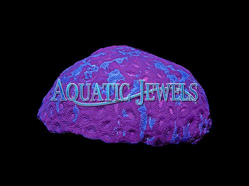 Purple and Blue Brain Coral (Favia sp.)