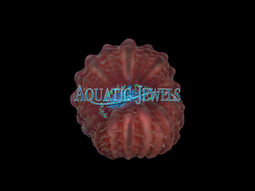 Rim of Fire Cynarina Coral (Cynarina Lacrymalis)