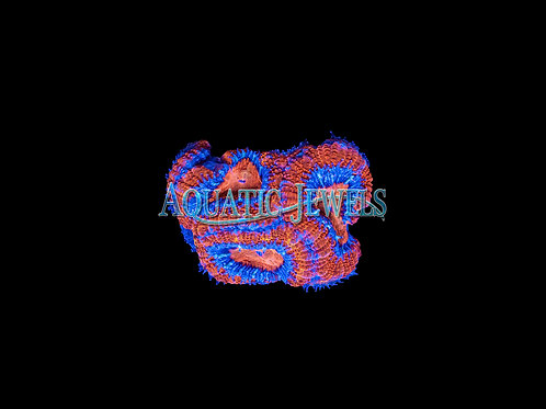 Blue Ringed Acan (Acanthastrea)