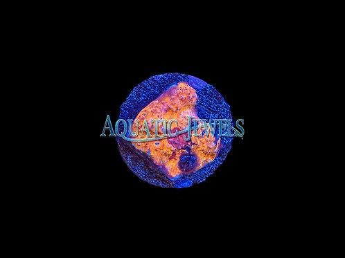 Gold Rush Chalice (Echinophyllia)