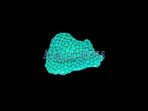 Indo Neon Green Alveopora (Alveopora)