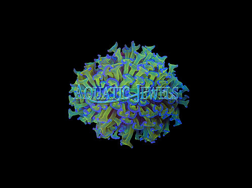 Purple and Green Stem Hammer Coral (Euphyllia Ancora)
