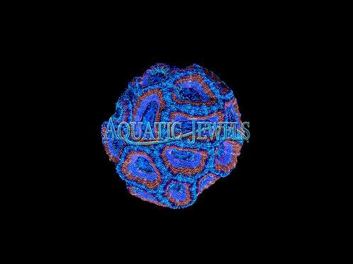 Blue and Orange Ringed Acan (Acanthastrea)