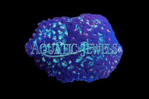Aqua Blue and pink Tri-color Brain Coral (Favia sp.)