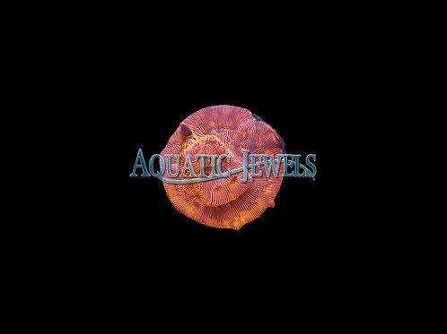Orange Lepto Coral (Leptastrea)