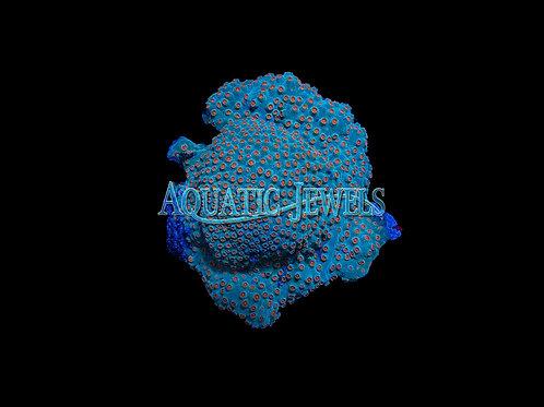 Orange Eye Lesser Knob Coral (Cyphastrea)