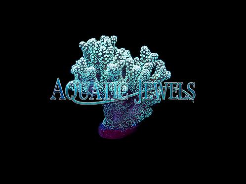 Neon Green Birdsnest Coral (Seriatopora Guttatus)