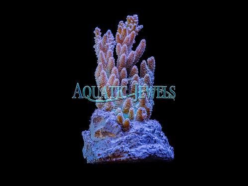 Upwards Going Purple Acro Colony (Acropora)