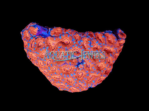 Orange Blue Spotted Acan (Acanthastrea Lordhowensis)