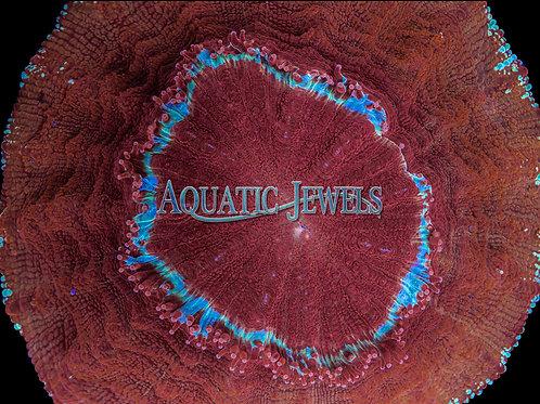 Meat Coral (Acanthophyllia)