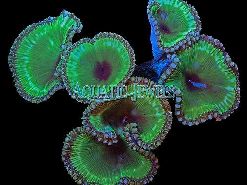Grandis Coral (Palythoa Grandis)
