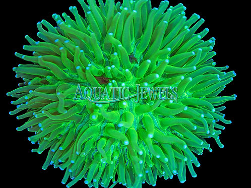 Green Plate Coral (Fungia Plate)
