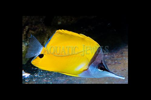 Yellow Longnose Butterfly Fish