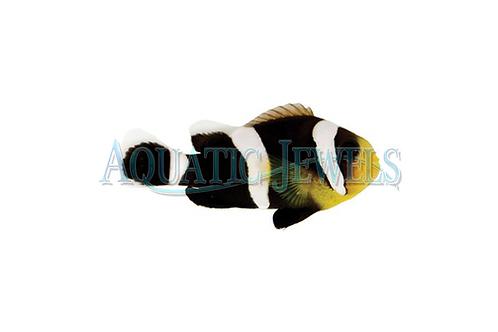 Black Saldeback Clownfish