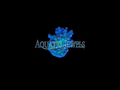 Blue and Green Acro (Acropora)
