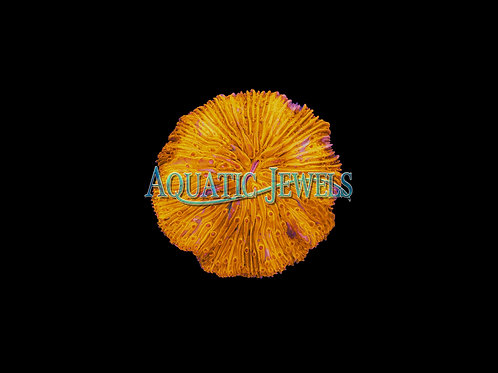 Yellow Plate Coral (Fungia Plate Coral)