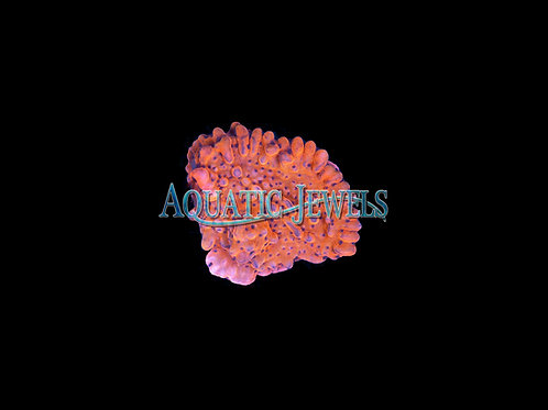 Blue Spotted Monti (Montipora)