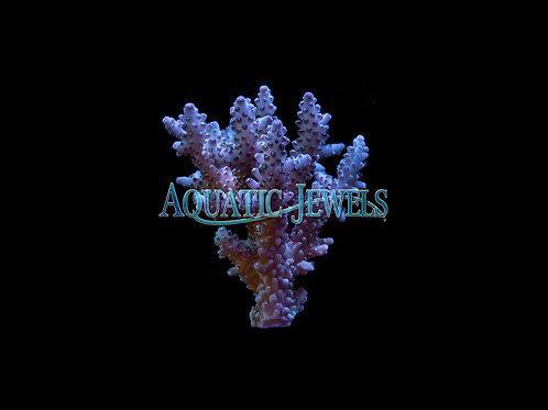 Purple and Blue Acro Colony (Acropora)