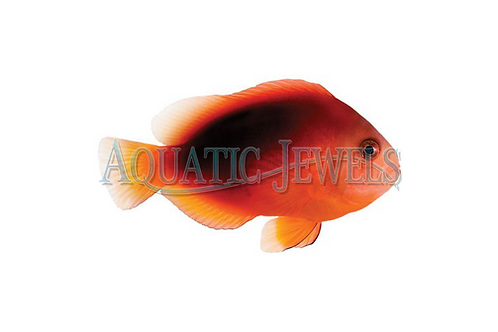 Fire Goldfish Clownfish