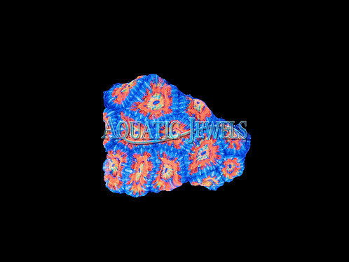 Blue and Orange Acan (Acanthastrea Lordhowensis)