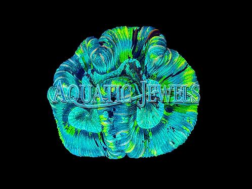 Open Brain Indo Trachy (Trachyphyllia Geoffroyi)