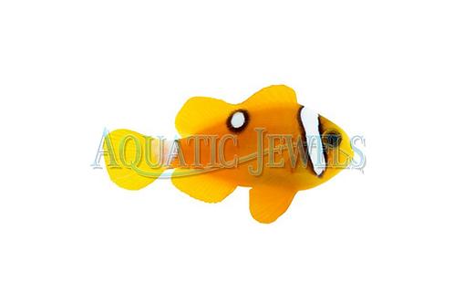 Yellow Delux Clarkii Clownfish