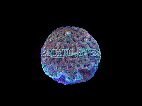 Rainbow Brain Coral (Favia)