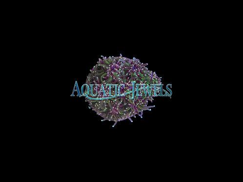 Star Coral (Galaxea Fascicularis)