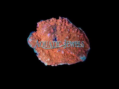 Blue Rim Orange Chalice (Echinophyllia)