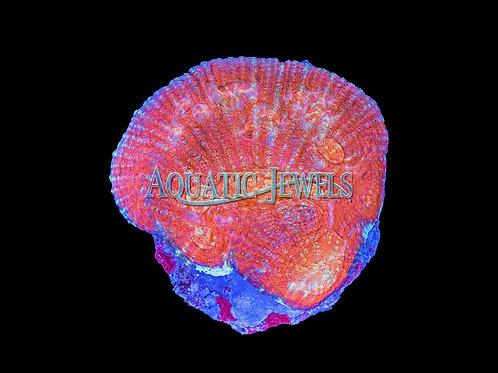 Shell Shape Chalice (Echinophyllia)