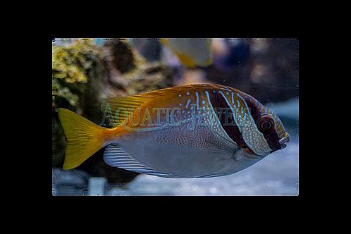 Fiji Scribble Rabbit Fish