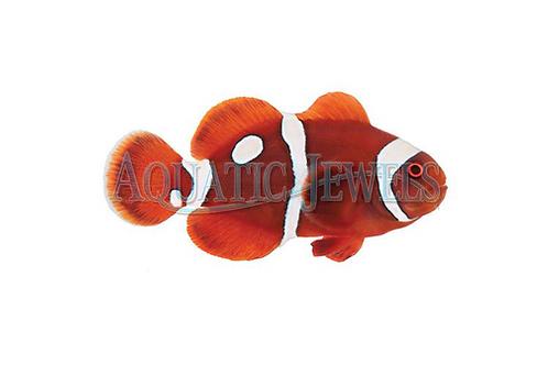 Gold Dot Maroon Clownfish