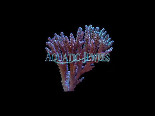 Tall Growing Purple Acro Colony (Acropora)