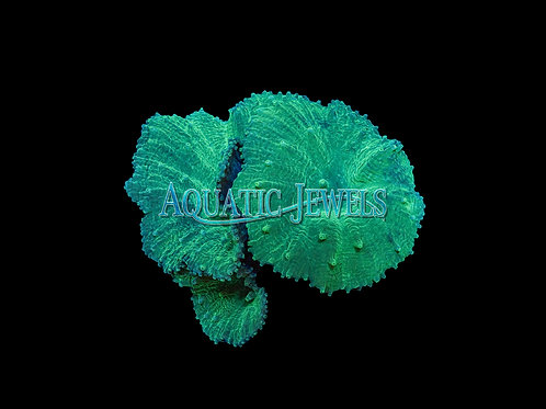 Green Cabbage Coral (Sinularia spp.)