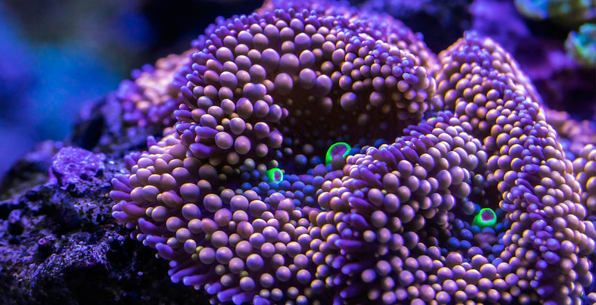 Softies coral.jpg