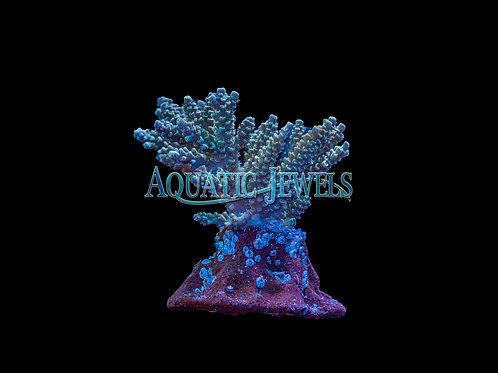Green and Purple Acro Colony (Acropora)